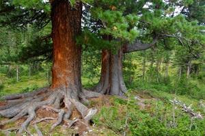 Описание хвойных пород деревьев, которые используются для топки печей и каминов